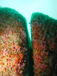 Trenamene jewel anemones